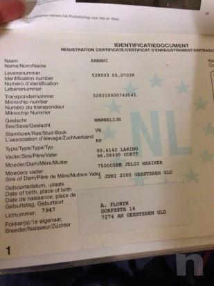 CAVALLO castrone 11 anni x passare da brevetto a 1°, salta fino 130 facile sano foto-7923
