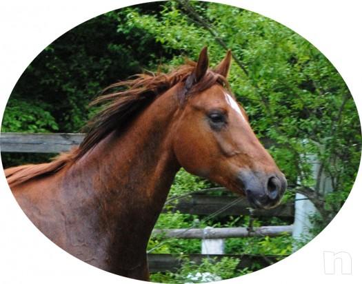 cavallo, puledro di massima caratura genetica da destinarsi al salto/dressage/completo foto-4859