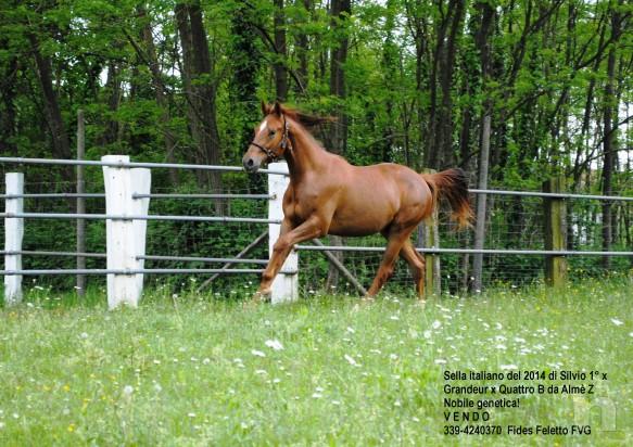 cavallo, puledro di massima caratura genetica da destinarsi al salto/dressage/completo foto-8662