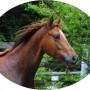 cavallo, puledro di massima caratura genetica da destinarsi al salto/dressage/completo